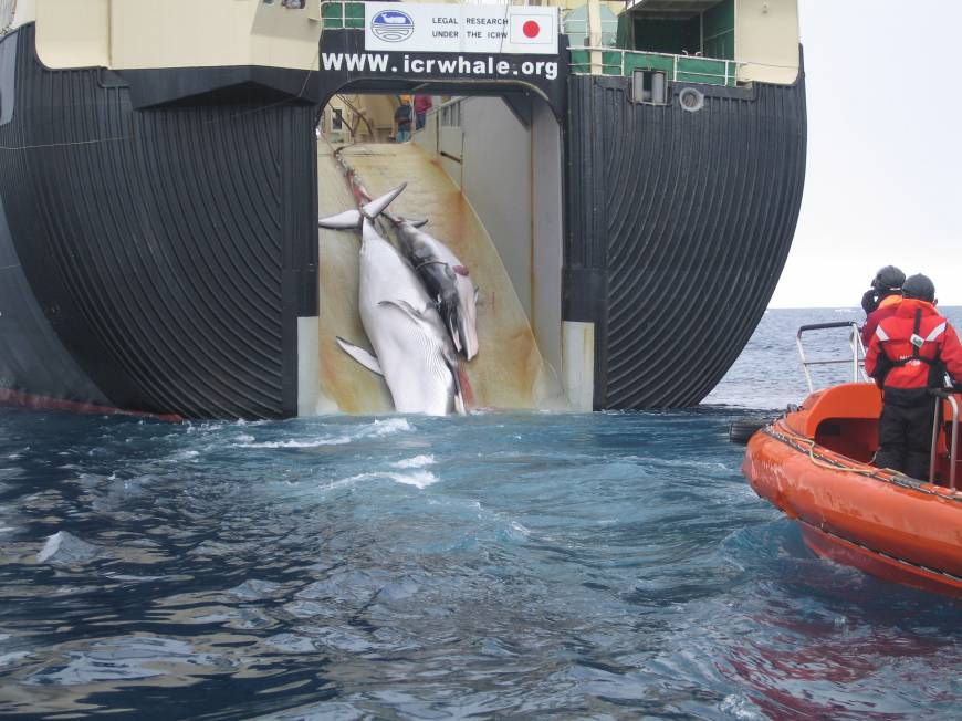 End of the line: A Minke whale and her 1-year-old calf are hauled aboard the Nisshin Maru, the world's only whale-factory ship, in the Southern Ocean in February 2008. In this case, Japan's 'legal research' advertised on the ship's stern left a large wound from an explosive harpoon in the calf's belly. | AUSTRALIAN CUSTOMS AND BORDER PROTECTION SERVICE