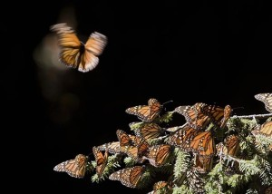 Monarch butterflies in 2008 at the Sierra del Chincua sancturay in Angangueo, Mexico. The number of monarchs reaching Mexico has now reached the lowest level on record. Photo by Mario Vazquez/AFP/Getty Images