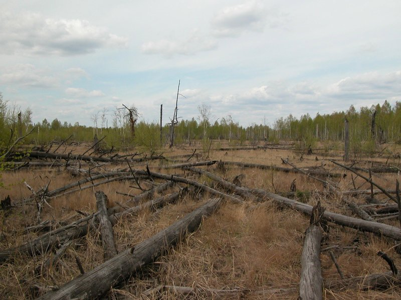 Fallen trees in Chernobyl's infamous red forest. Photo: T.A.Mousseau & A.P. Møller