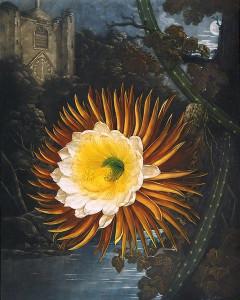 'The Night-Blowing Cereus' by Robert John Thornton, 1799