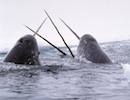 narwhals whale