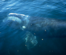 right_whale_0