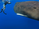 MAGNIFICENT SPERM WHALES PLAYING WITH DIVERS