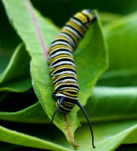 A monarch caterpillar on a milkweed leaf. (Photo: forevertrusting/cc/flickr)