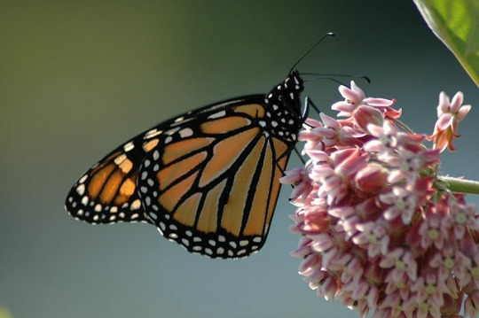 A monarch sits on milkweed. (Photo: George Bott/cc/flickr)