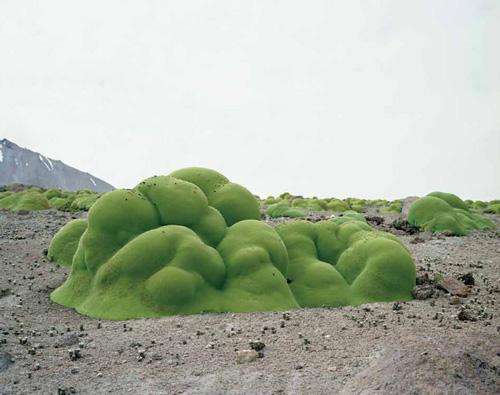 Llareta 3,000 years | Atacama Desert, Chile