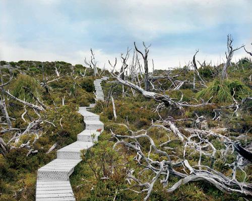 Dead Huon pine 10,500 years | Mount Read, Tasmania; Royal Tasmanian Botanical Garden, Hobart