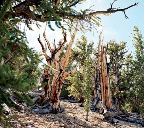 Bristlecone pine 5,068 years | White Mountains, California, US