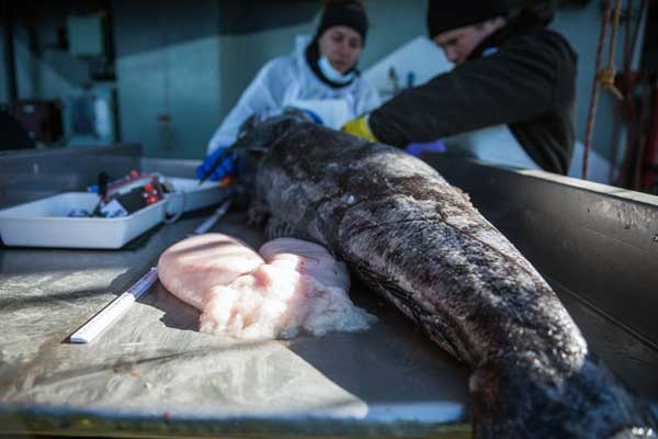 Veterinarian, Colette Harmsen and Biologist, Bia Figueiredo find eggs in a deceased female tooth fish, during Operation Ice Fish this month. (IMAGE: Jeff Wirth / Sea Shepherd Global)