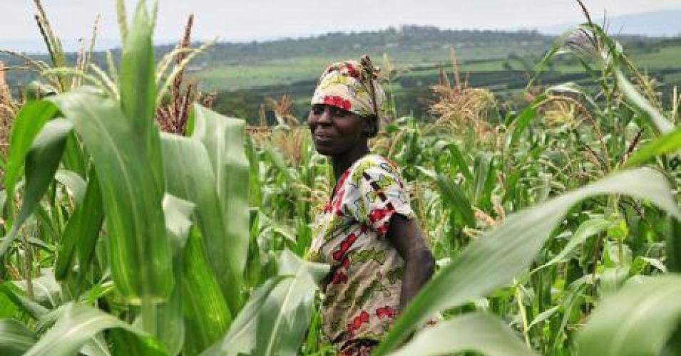 A smallhold maize farm in Rwanda. (Photo: Flickr/Neil Palmer/CIAT)