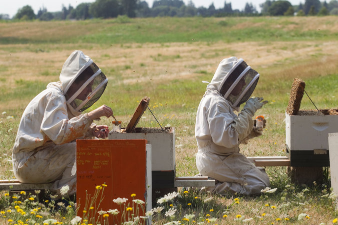 Researchers from Oregon State University testing bees last August for the effects of pesticides. Credit Natalie Behring/Getty Images