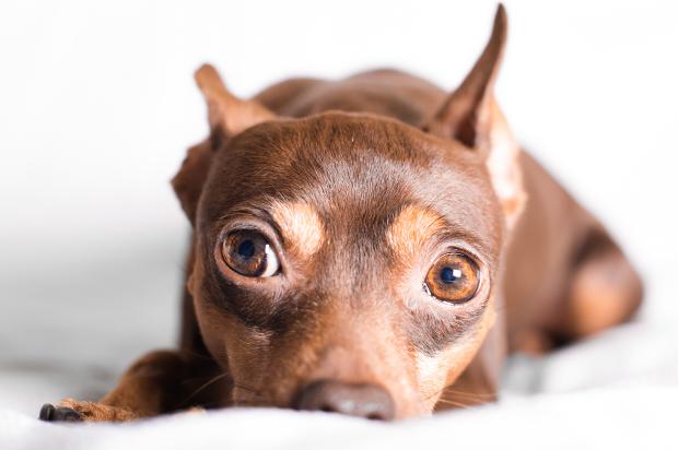 bug_eyed_dog cão cachorro animal