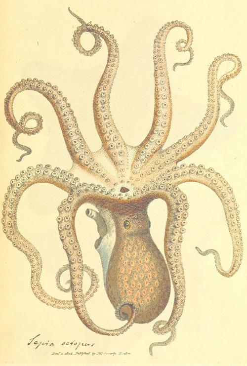 octopus2 polvo