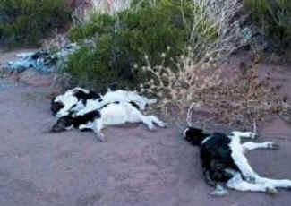 matadouro animal laticinios gravidez pregnancy2