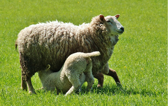 sheep_and_lamb animal new zealand sentient beings
