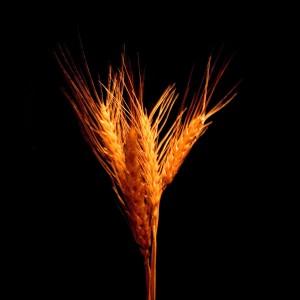 wheat trigo