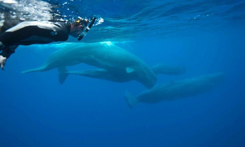 Philip Hoare swimming with sperm whales in the Azores. Photograph: Andrew Sutton