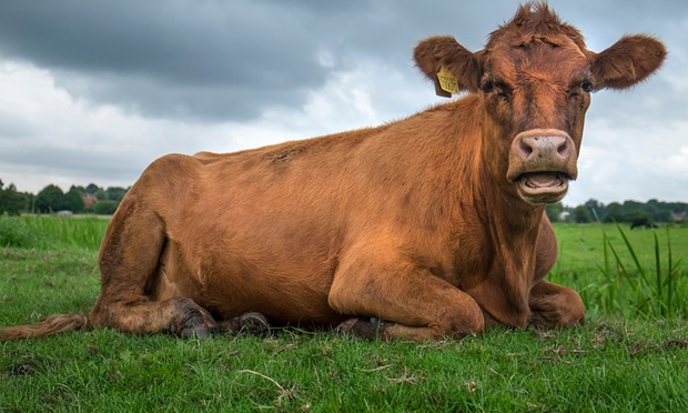 Science shows that animals are sentient beings that can feel pain and loneliness. Photograph: Graham Turner/Guardian