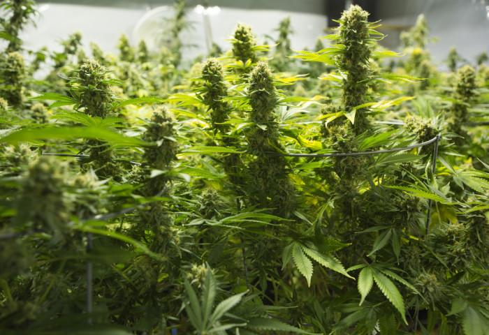 cannabis marijuana maconha herb erva smoke