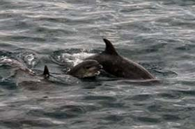 A mother and juvenile bottlenose dolphin spend their final moments together in the cove. Photo: Sea Shepherd