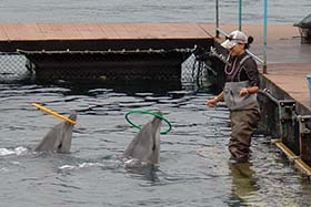 Captive bottlenose dolphins are conditioned to perform tricks for food. Photo: Sea Shepherd