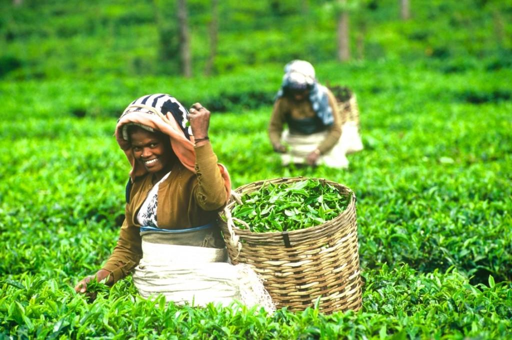 tea_plucker fair trade solidarity coop