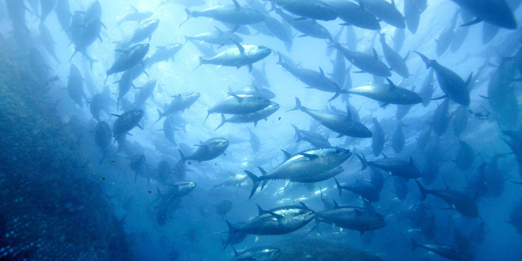 File photo taken in 2008 shows farmed bluefin tuna off the coast of Kushimoto in Wakayama Prefecture, western Japan. Around 11,000 of them died after a powerful typhoon struck the region in July 2015. The tuna are believed to have died after crashing into nets or each other amid high waves. (Kyodo) ==Kyodo