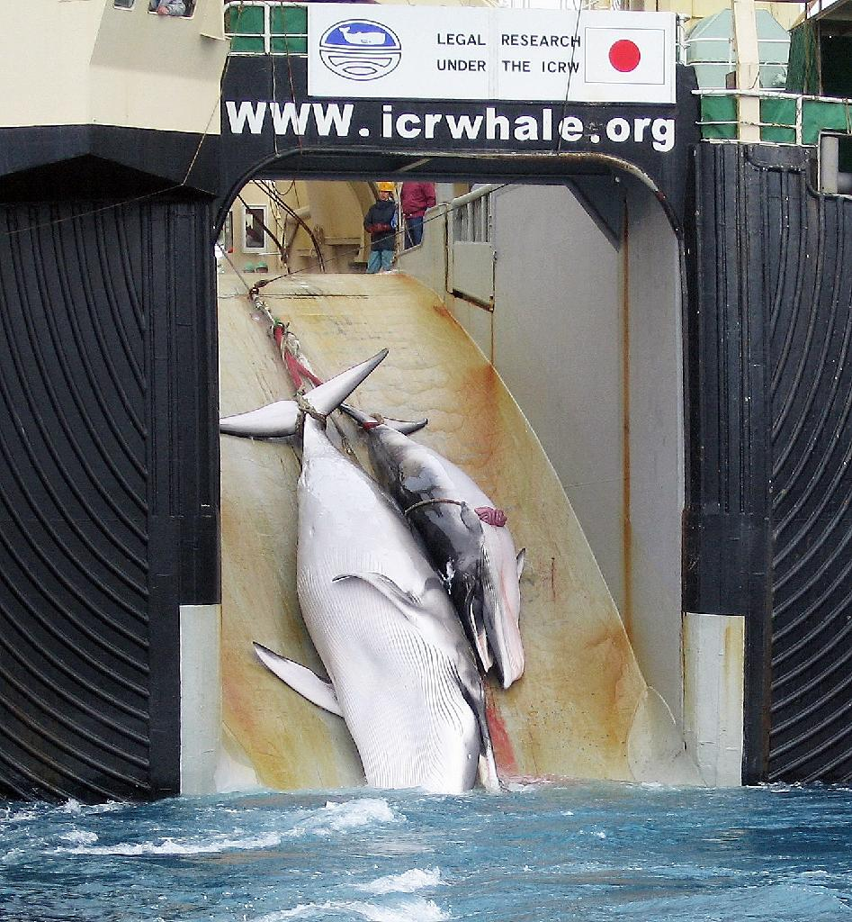 A mother whale and her calf can be seen being dragged on board a Japanese ship after being harpooned …