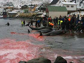 Sea Shepherd strongly disputes claims made in local media that the slaughter was quick. Photo: Sigrid Petersen