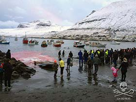 501 pilot whales have now been killed in the Faroe Islands in 2015 alone. Photo: Sigrid Petersen