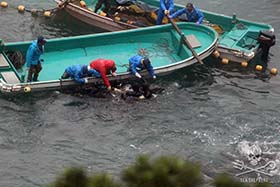 Hunters push a dolphin into the nets Photo: Sea Shepherd