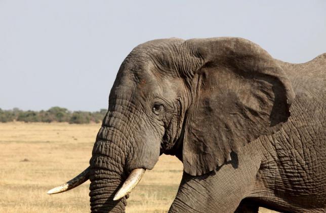 An elephant walks in Serengeti National Park in August 18, 2012 file photo. Reuters/Noor Khamis/Files