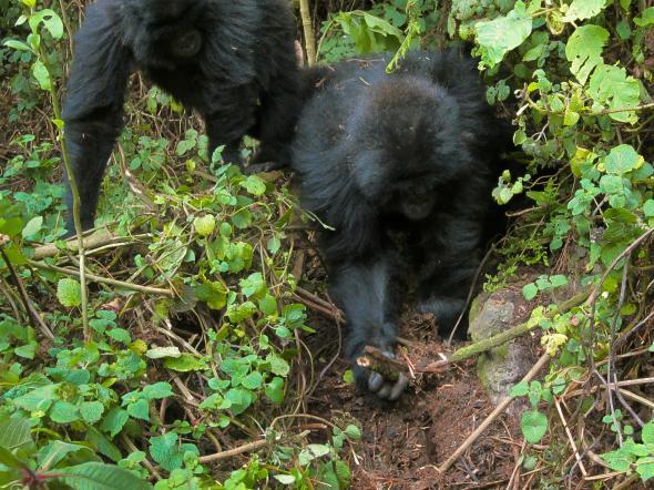 Wild gorillas Rwema and Dukore destroy a primitive snare in Rwanda. Photograph courtesy Dian Fossey Gorilla Fund