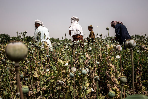 Afghan farmers harvested poppies last spring in the Nad Ali district of Helmand Province. Bryan Denton for The New York Times