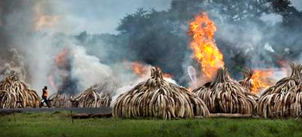 A worker carries spray bottles of gel fuel to help the burning as he walks past pyres of ivory that were set on fire in Nairobi National Park, Kenya, Saturday, April 30, 2016. (photo: Ben Curtis)