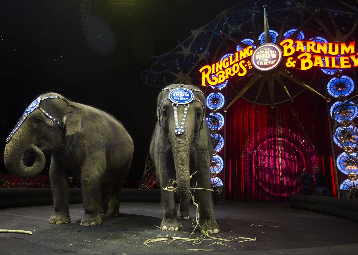 Elephants Bonnie and Kelly Ann eat sugar cane before a Ringling Bros. and Barnum & Bailey Circus performance in Washington, D.C., on March 19, 2015. The animals will no longer be part of the circus. Andrew Caballero-Reynolds/AFP/Getty Images