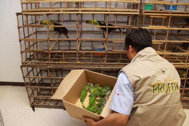 In the photo, an inspector from Mexico's federal environmental protection agency carries a box of parrots seized in a 2011 operation against the trafficking of protected species of birds. Credit: PROFEPA