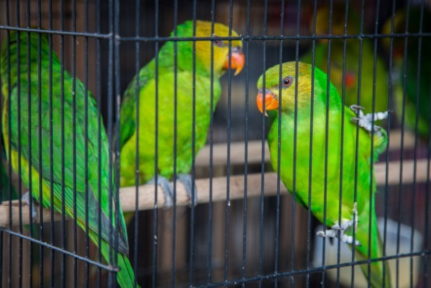 Because of their biological wealth, Latin America and the Caribbean are a source and destination of trafficked species. In the photo, trafficked parrots in a cage after being seized. Credit: World Animal Protection