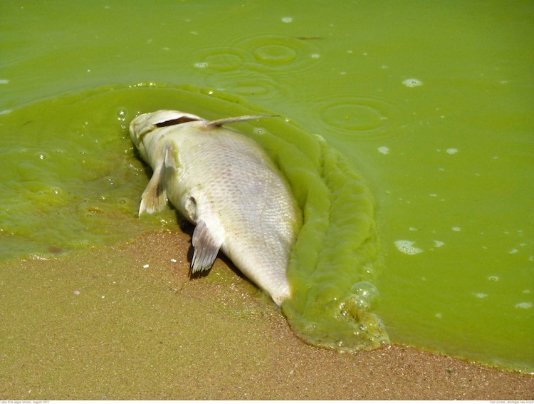 A dead fish surrounded by algae in Lake Erie during a record-setting algae bloom in 2011. Photo credit: Tom Archer/NOAA