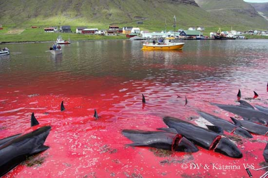 Dead pilot whales line the killing beach of Hvannasund. Image via nordlysid.fo