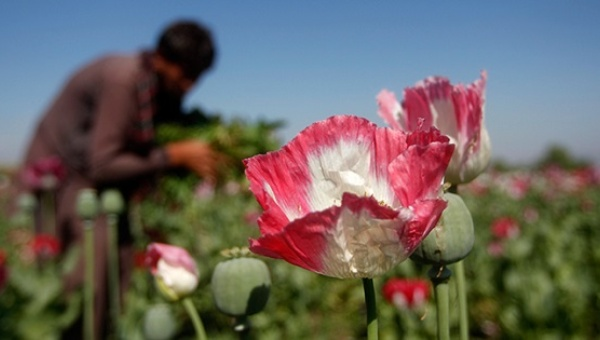 A poppy field in Afghanistan's Jalalabad province   Photo: Reuters