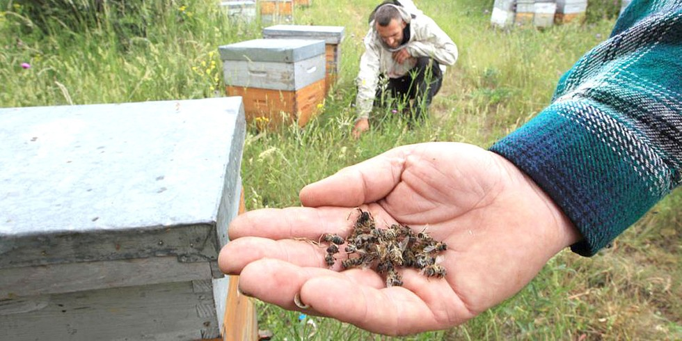 Dead bees in a French beekeeping farm. Wikipedia Commons