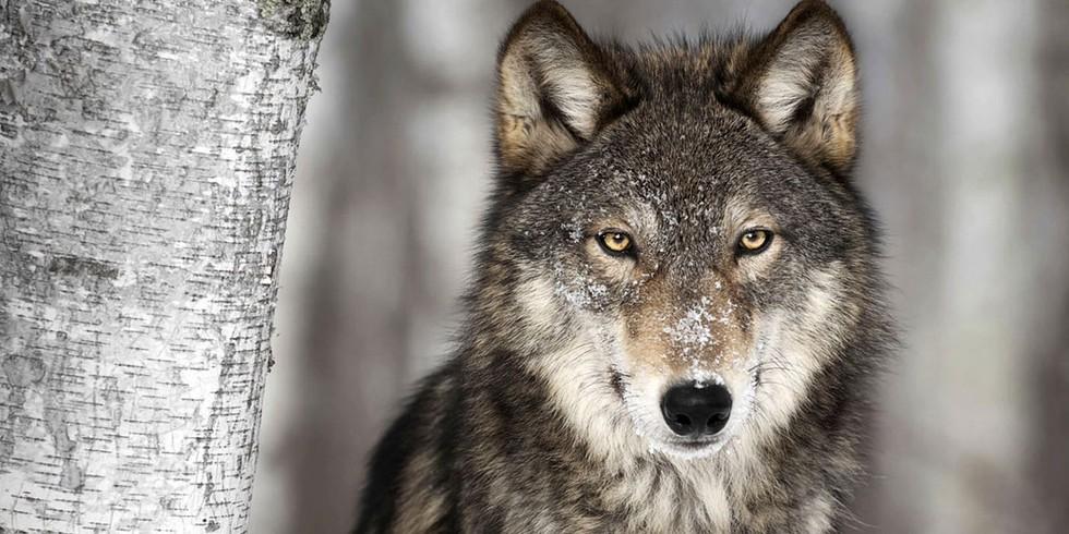 wolf-lobo