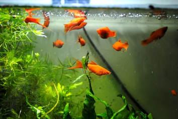 Transcend media service fran ais la cage vitr e for Poisson rouge koi aquarium